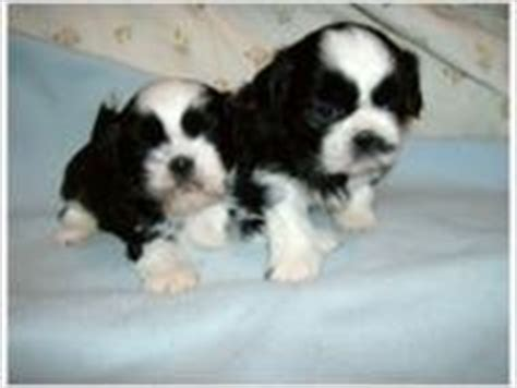 free puppies bristol tn dogs bristol tn free classified ads