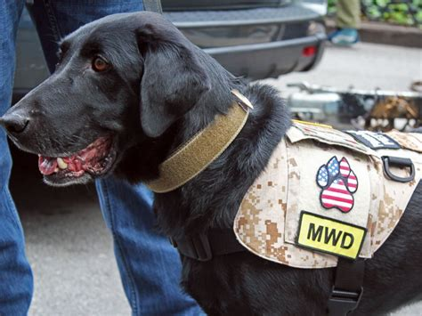 veteran dogs dogs of war get heroes salute at new york veterans day parade abc news