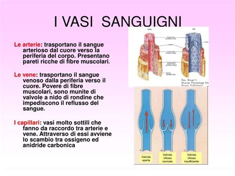 vasi sanguigni ppt apparato circolatorio powerpoint presentation id
