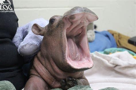 tattoo fixers fiona hippo baby fiona updates the cincinnati zoo botanical
