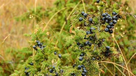 Juniper For Detox by 7 Essential Oils For Kidney Stones That Really Help New