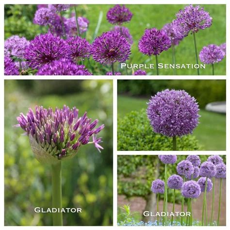 17 best images about 2016 year of the alliums on pinterest