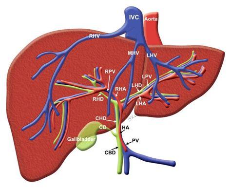 diagram liver human liver diagram unit 4 anatomy