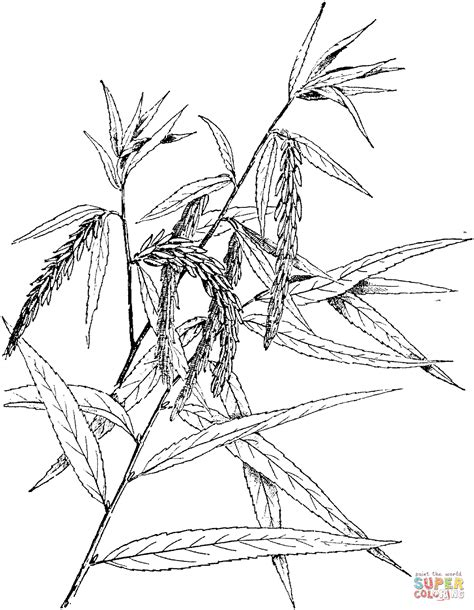 ash leaf coloring page ash tree colouring page and other color pages too clipart