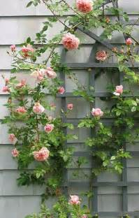 best trellis for roses growing with plants trellis through the garden