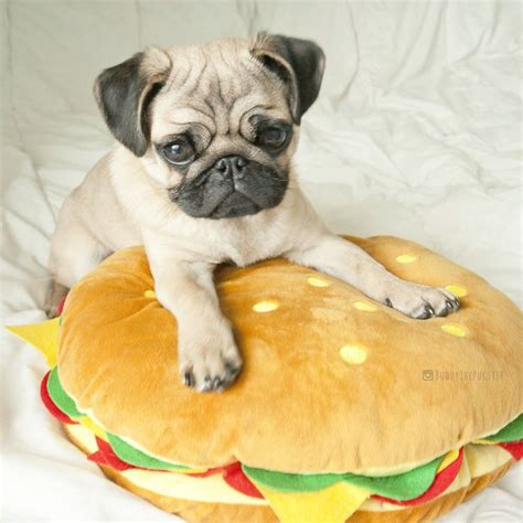 for pugs 793 best pug images on doggies pets and