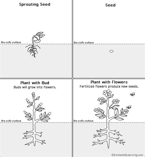 Plant Cycle Worksheet by Flowering Plant Cycle Sequencing Cards Enchanted Learning Software