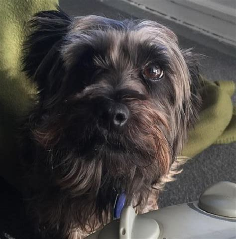 grey yorkie poo yorkie search results lost dogs illinois