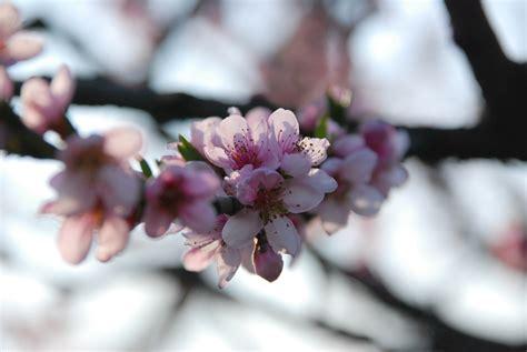 i fiori di pesco fiori rosa fiori di pesco foto immagini macro e