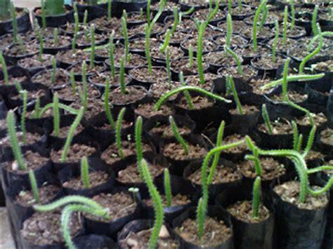 Stek Batang Bibit Pohon Insulin Siap Tanam 1 tips dan trik budidaya buah naga cara tanam menanam bercocok tanam buah naga cara hidup sehat