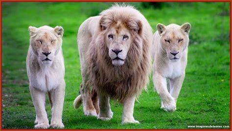 imagenes de leones salvajes fotos de leones fotos del mundo holidays oo