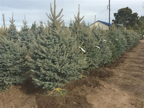 heidrich s colorado tree farm nursery llc 80923 colorado