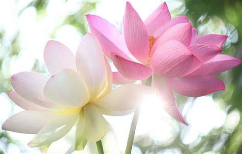 fior di loto immagini come coltivare i fiori di loto in vaso ecoo