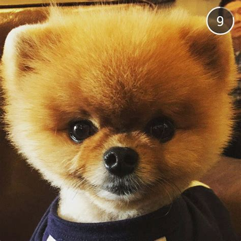 jiff pomeranian for sale pomeranian pictures and photos 3 breeds picture