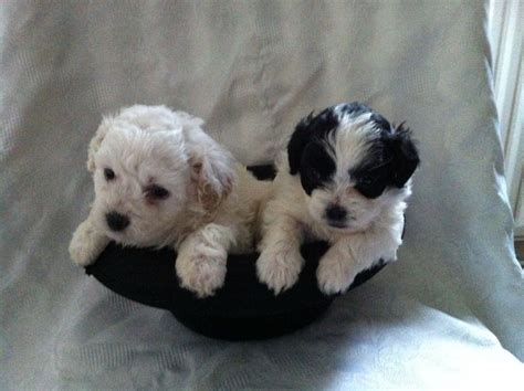 poodle mix with shih tzu pin shih tzu mix puppies 375 usd on