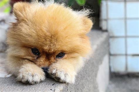 images of pomeranian puppies pomeranian puppies dogtime
