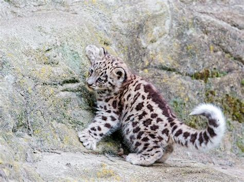 Atasan Oblong Baby Cat 627 34792 18 best baby snow leopard images on animal babies baby snow leopard and big cats