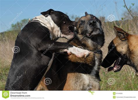 pitbull puppy biting biting pit bull royalty free stock images image 9144559