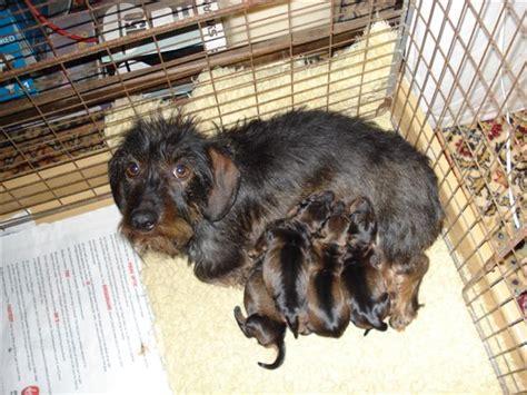 dachshund puppies tulsa miniature dachshund puppies ky photo