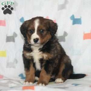 bernese mountain puppies pa bernese mountain mix puppies for sale in pa