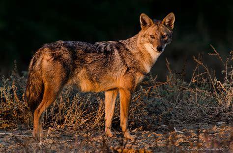 Indian Jackal (Canis aureus indicus) | Location: Greater ...