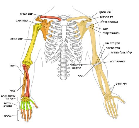 arm bone diagram related keywords suggestions for human arm diagram