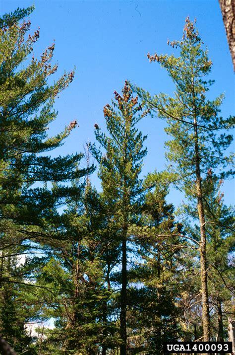 white pine tree care eastern white pine pinus strobus pinales pinaceae