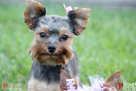 yorkie puppies chicago 22 best images about chicago yorkie rescue on adoption teeth cleaning and