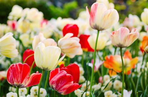 significato fiori tulipani regalare tulipani significato fiori