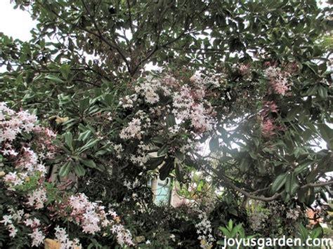care   sweet pink jasmine  loves