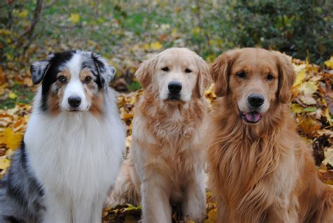 golden retrievers australia golden retriever australian shepherds breeds picture