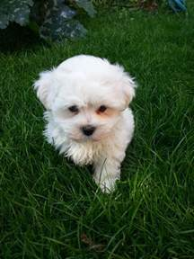 cute and small maltese puppy hinckley leicestershire pets4homes