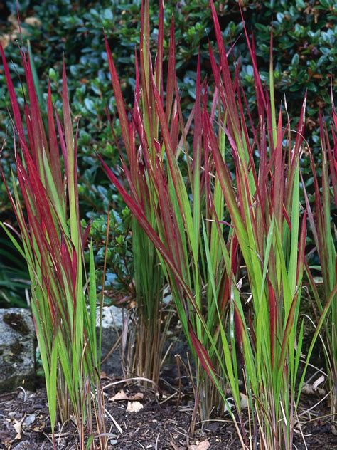 decorative grass plants ornamental grasses with colorful leaves ornamental grass