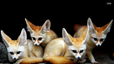 Baby Fennec Fox Wallpaper - baby fennec fox wallpaper