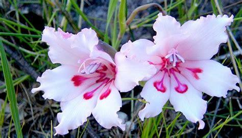 Garten Pflanzen April by Gladiolen Pflanzen Im April