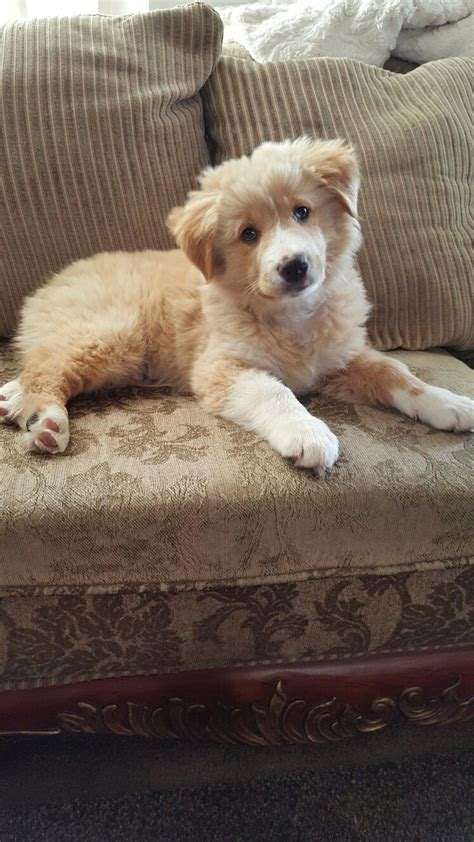 shepherd golden retriever mix best 25 australian shepherd mix ideas on australian shepherd puppies