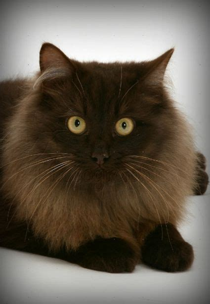 Cat Ct010 Brown Yellow 2412 best pets are the best board images on
