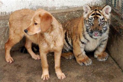 tiger golden retriever golden retriever nursing tiger cubs cub triplets meet their for the