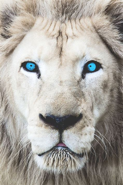 white lion tattoo superior luxury motivationsforlife wide open