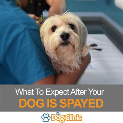 on being a veterinarian what to expect how to prepare volume 1 books canine spay recovery time what should you expect
