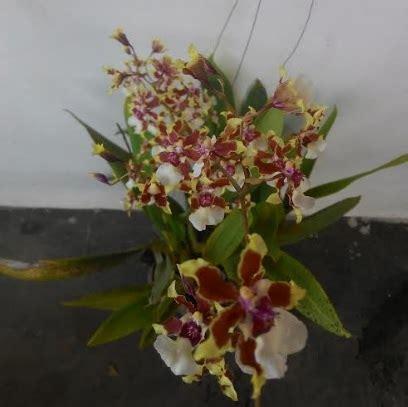 tanaman anggrek cymbidium ruffled tiger bibitbungacom