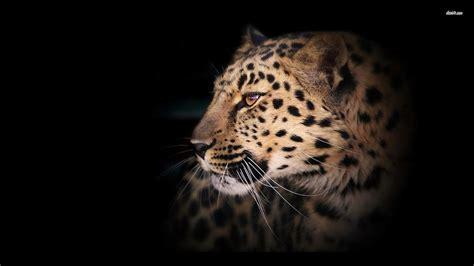 leopard wallpapers wallpaper cave