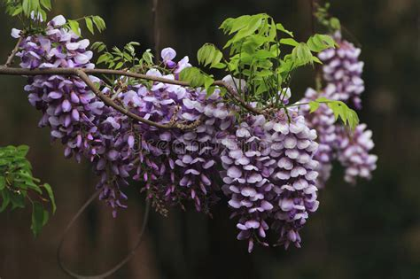 copy right free pictures of purple wisteria wisteria sinensis sweet stock image image of 24875165