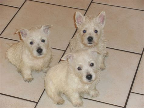 westie puppies for sale westie puppies for sale bolton greater manchester pets4homes