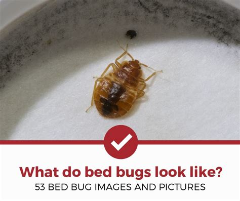 bed bugs    pictures  bed bugs