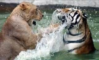 Tiger Vs Jaguar Who Would Win Image Gallery Lions Fighting Tigers