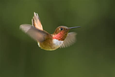 rufous hummingbirds turning up in unusual places audubon