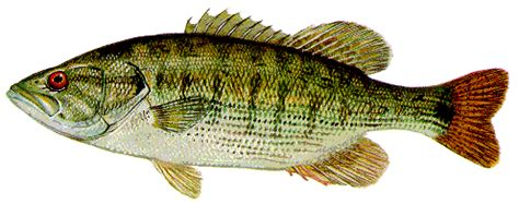 fly fishing for redeye bass an adventure across southern waters books redeye bass