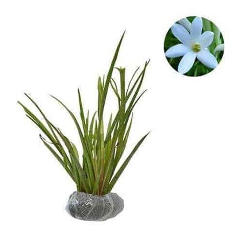 Bibit Bunga Sedap Malam Bandung jual tanaman sedap malam bibit