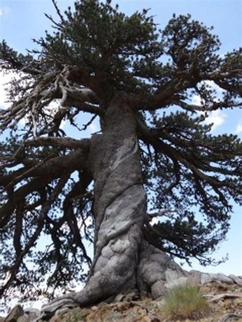 oldest living wordlesstech oldest living tree in europe